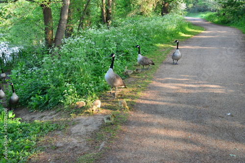 A gaggle of geese at Riverside park in Horley, Surrey Fototapeta