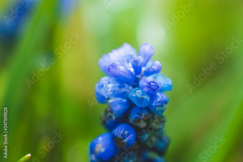 Photo Spring early beautiful delicate flower adder bow blue closeup, macro shot