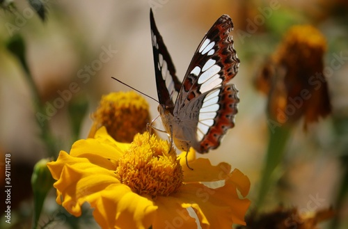 Macro of Commander Butterfly or Moduza Procris While Collecting Honey from Marig Fotobehang