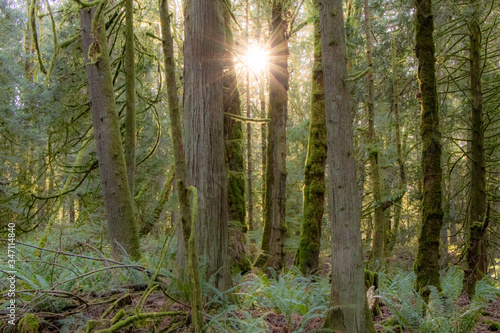 Bright Sun and Light Rays Beaming Through Trees in Mossy Evergreen Forest of the Pacific Northwest - Olympia, Washington, USA