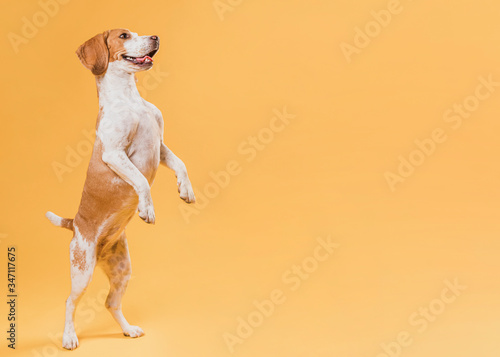 Dog standing on hind legs with copy space Canvas Print