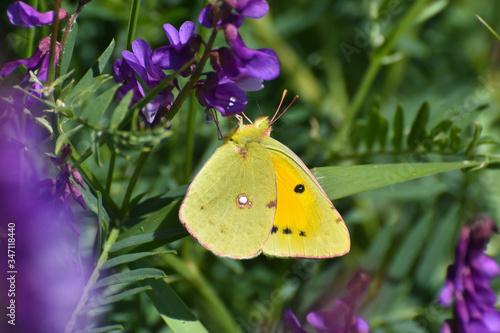 Fotografia, Obraz Pale clouded yellow butterfly