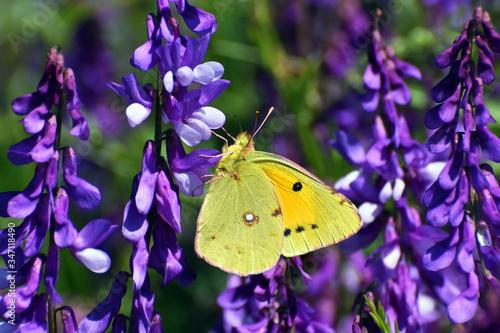 Obraz na plátne Pale clouded yellow butterfly