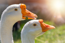 Portrait Of Two White Geese On...