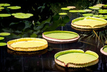 Close-up Of Lily Pads Floating On Pond