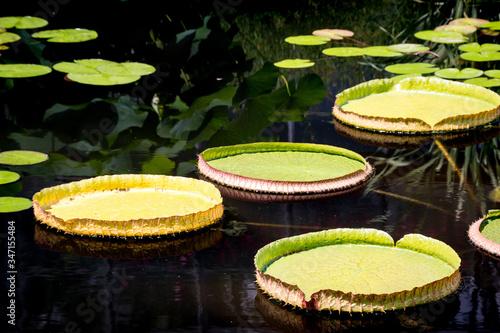 Valokuvatapetti Close-up Of Lily Pads Floating On Pond