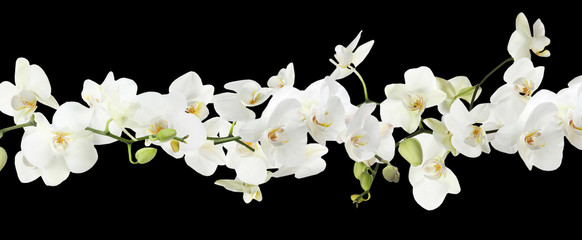Fototapeta Storczyki Branch of beautiful orchid on black background. Banner design