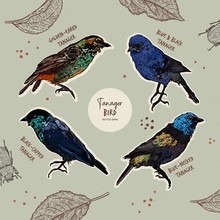 Tanager Birds Collection, Hand Draw Sketch Vector.