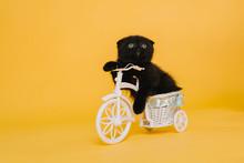 A Small Fold Kitten Of Black C...