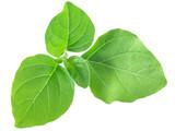 Fototapeta Kawa - Ashwagandha leaves w. somnifera, paths