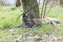 A Gray Maine Coon Cat Walks In The Yard On The Street In The Spring, Among The Bare Branches And Logs In The Sunlight