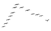 A Hand Drawn Flock Of Flying B...