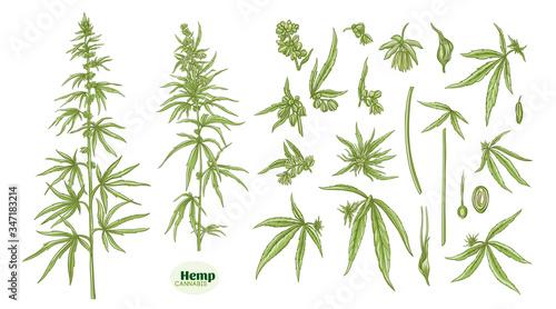Photo Hemp, cannabis plant