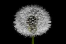 Dandelion Illuminated On Black Background. Closeup Macro Photography.