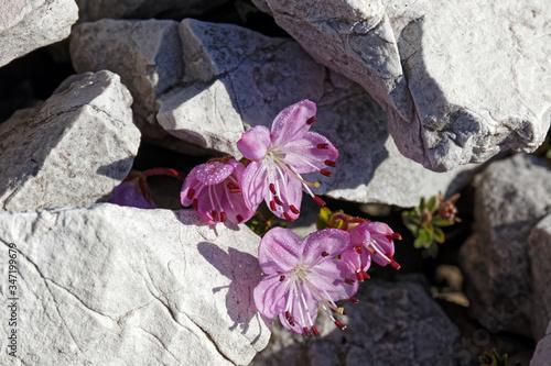 Bergblumen, Dolomiten-Fingerkraut, Potentilla nitida, Alpen Tablou Canvas