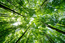 Forest, Lush Foliage, Tall Trees At Spring Or Early Summer - Photographed From Below