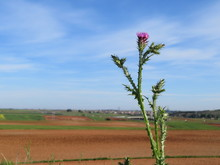 Thistle Plant Natural Peak Pur...