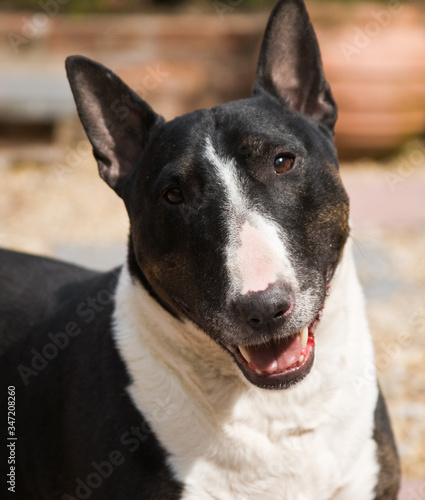 Tela A close up portrait of a black and white English Bull Terrier smiling and looking at the camera