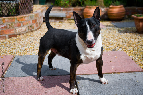 Fotografia A black and white English Bull Terrier standing proud,  smiling and looking at the camera