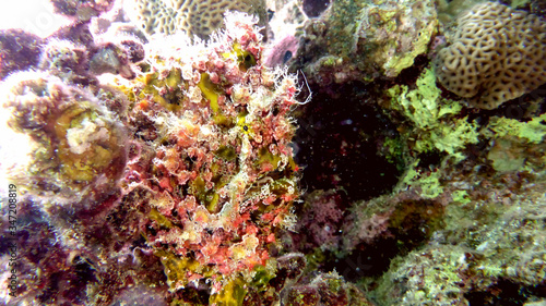 Fototapety, obrazy: Colorful frogfish in the Red sea. Eilat, Israel