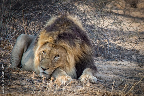 Closeup shot of a powerful lion laying on the ground Wallpaper Mural