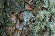 Flechten an Baum / Eichenmoos (lat.: Evernia prunastri)