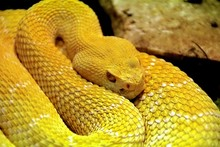 Close-up Of Yellow Eyelash Viper