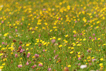 Close-up Of Yellow Wildflowers Blooming In Field