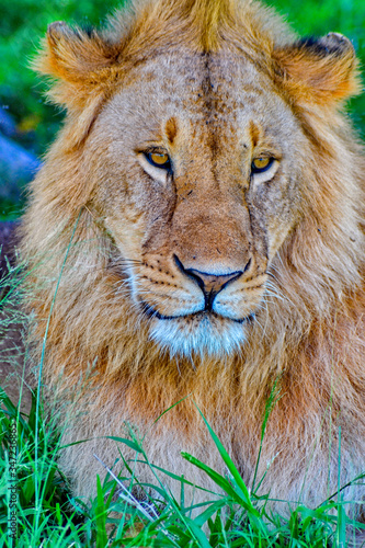 Photo Portrait of African lion