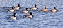 Side View Of Ducks In Rippled Water