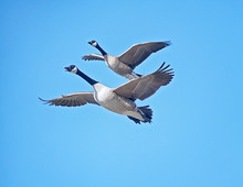Low Angle View Of Canada Geese Flying Against Blue Sky