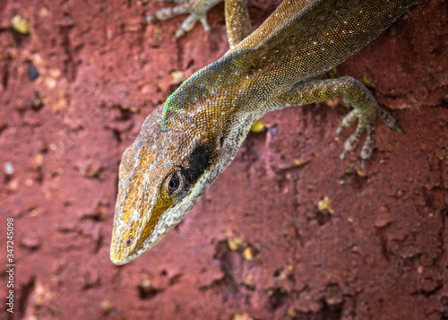 Photo An annoyed Green Anole on a brick wall!