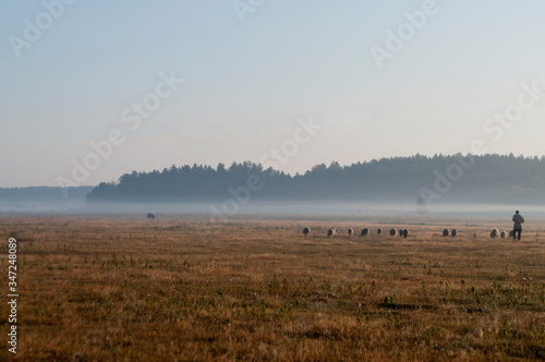 Fotografie, Tablou The cattleman and sheep that pasturing in the meadow of brown color far away
