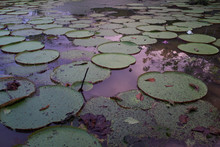 High Angle View Of Lilypads In Pond