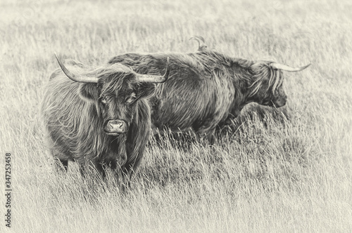 Fototapety, obrazy: Highland Cattle Standing On Grassy Field