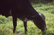 Cow Grazing On Grassy Field