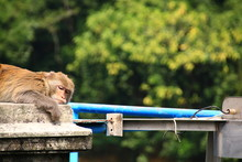 Monkey Relaxing On Railing Aga...