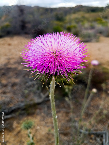 I captured this thistle in full bloom on the way to Bagdad, Arizona Fototapet