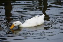 American Pekin Duck Foraging In Lake