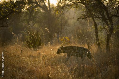 Hyena Walking On Grass In Forest Fototapeta