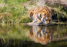 Close-up Of Tiger Drinking Water