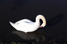 Swan Neck Pose Curved