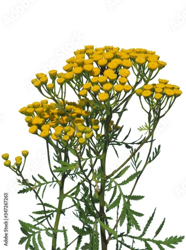 Photo Tansy (Tanacetum vulgare) also known as common tansy, bitter buttons, cow bitter
