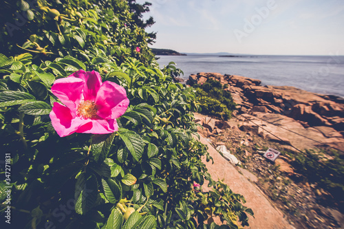 Wild rose with coastal line view Canvas Print