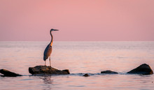 The Blue Heron At Sunset