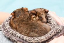 Close-up Of Young Possums At H...