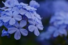 Close-up Of Blue Plumbago Flowers