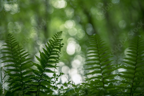 Fern in the forest ambient Light through the trees Wallpaper Mural