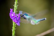 Close-up Of Hummingbird Pollinating Purple Flowers