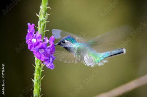 Photo Close-up Of Hummingbird Pollinating Purple Flowers